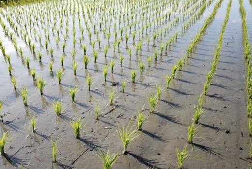 抗旱先減種水稻!農委會推「四選三」政策。